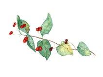 野生忍冬属植物分支用成熟莓果 库存例证