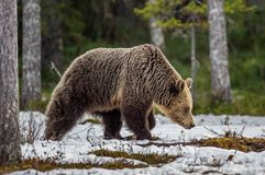 野生成人布朗在早期的春天森林里涉及雪 库存图片