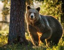 野生成人棕熊熊属类Arctos 免版税图库摄影