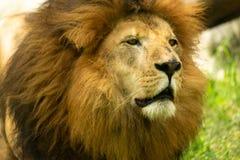 野生成熟狮子画象  免版税库存图片
