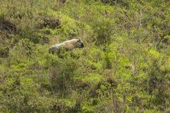 野生扭角羚在中国森林里 库存图片
