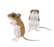 野生拉布拉多白足鼠- Peromyscus 免版税库存照片