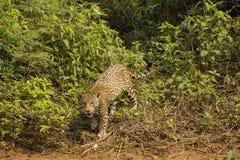 野生捷豹汽车在灌木前面停留了 库存图片