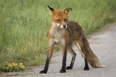 野生摆在的狐狸 库存照片