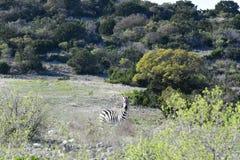 野生斑马在沙漠 免版税库存照片