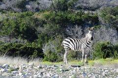 野生斑马在沙漠 库存照片