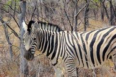 野生斑马详述灌木,纳米比亚 免版税库存图片