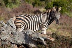 野生斑马 免版税库存图片