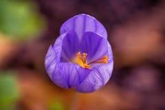 野生新鲜的美丽的番红花vernus花植物 库存图片