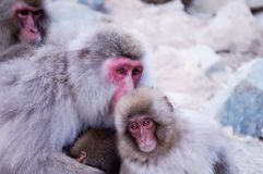 野生日本短尾猿-雪猴子 免版税图库摄影