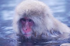 野生日本短尾猿-雪猴子 库存图片