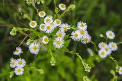 野生春黄菊以绿色 免版税库存照片