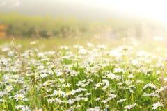 野生春黄菊在一个领域开花在一个晴天 浅深度的域 免版税库存照片