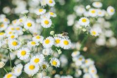 野生春黄菊在一个领域开花在一个晴天 库存图片