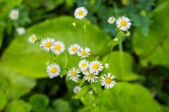 野生春黄菊花卉生长在绿色草甸,抽象花卉背景 免版税库存照片