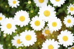 野生春黄菊雏菊花卉生长在绿色草甸 库存照片