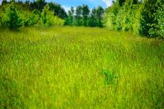 野生春黄菊在一个领域开花在一个晴天 浅深度 库存图片