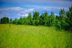 野生春黄菊在一个领域开花在一个晴天 浅深度 免版税库存照片