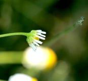 野生春黄菊在领域在初期开花早晨 免版税图库摄影