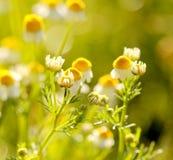 野生春黄菊在领域在初期开花早晨 库存图片