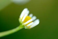 野生春黄菊在领域在初期开花早晨 库存照片