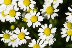 野生春黄菊或春黄菊或者春白菊草甸开花顶视图背景 免版税图库摄影