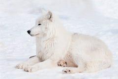 野生极性狼在白色雪说谎 北极狼或白狼 在野生生物的动物 免版税库存图片