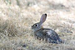野生棉尾巴兔子 库存图片