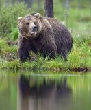 野生棕熊熊属类Arctos在夏天森林里 免版税图库摄影