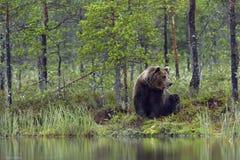 野生棕熊熊属类Arctos 免版税库存照片