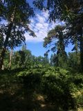 野生森林、冷杉和杉木在一块美丽的沼地 蓝天和蓬松云彩通过树分支是可看见的  图库摄影