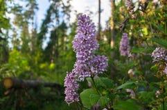 野生森林丁香在清楚的夏天晚上,莫斯科郊区,俄罗斯豪华的开花的小树枝  免版税库存图片
