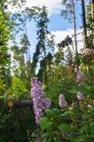 野生森林丁香在清楚的夏天晚上,莫斯科郊区,俄罗斯豪华的开花的小树枝  免版税库存照片