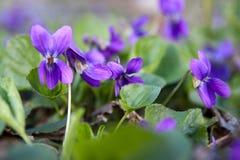 野生森林紫罗兰在春天森林开花的特写镜头 背景蓝色云彩调遣草绿色本质天空空白小束 免版税图库摄影