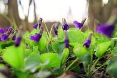 野生森林紫罗兰在春天森林开花的特写镜头 背景蓝色云彩调遣草绿色本质天空空白小束 免版税库存图片