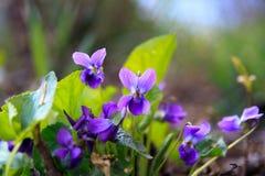 野生森林紫罗兰在春天森林开花的特写镜头 背景蓝色云彩调遣草绿色本质天空空白小束 库存图片