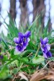 野生森林紫罗兰在春天森林开花的特写镜头 背景蓝色云彩调遣草绿色本质天空空白小束 库存照片