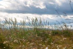 野生植物和野花的耳朵在多云天空背景  库存照片