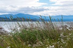 野生植物和野花的耳朵在山背景  免版税库存照片