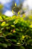 野生植物柠檬香茅 免版税库存图片