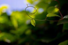 野生植物柠檬香茅 免版税库存照片