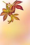 野生植物的五颜六色的秋季枝杈被弄脏的背景的 库存照片