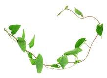野生植物藤本植物工厂 免版税图库摄影