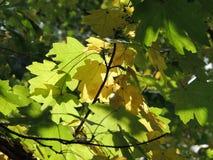 野生槭树叶子 免版税库存照片
