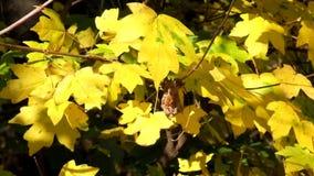 野生槭树黄色叶子在风沙沙响,并且为时hoverfly飞行飞行从叶子到叶子 股票录像
