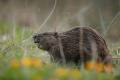 野生欧洲海狸在美丽的自然栖所在捷克 库存照片