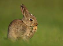 野生欧洲的兔子穴兔串孔, juveni 免版税库存照片