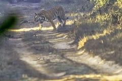 野生母孟加拉老虎豹属底格里斯河底格里斯河-吉姆科比特国立公园,印度 免版税库存照片