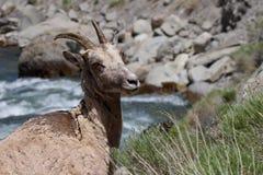 野生母落矶山脉大角野绵羊 免版税库存图片