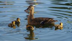 野生母野鸭鸭子用鸭子 库存照片